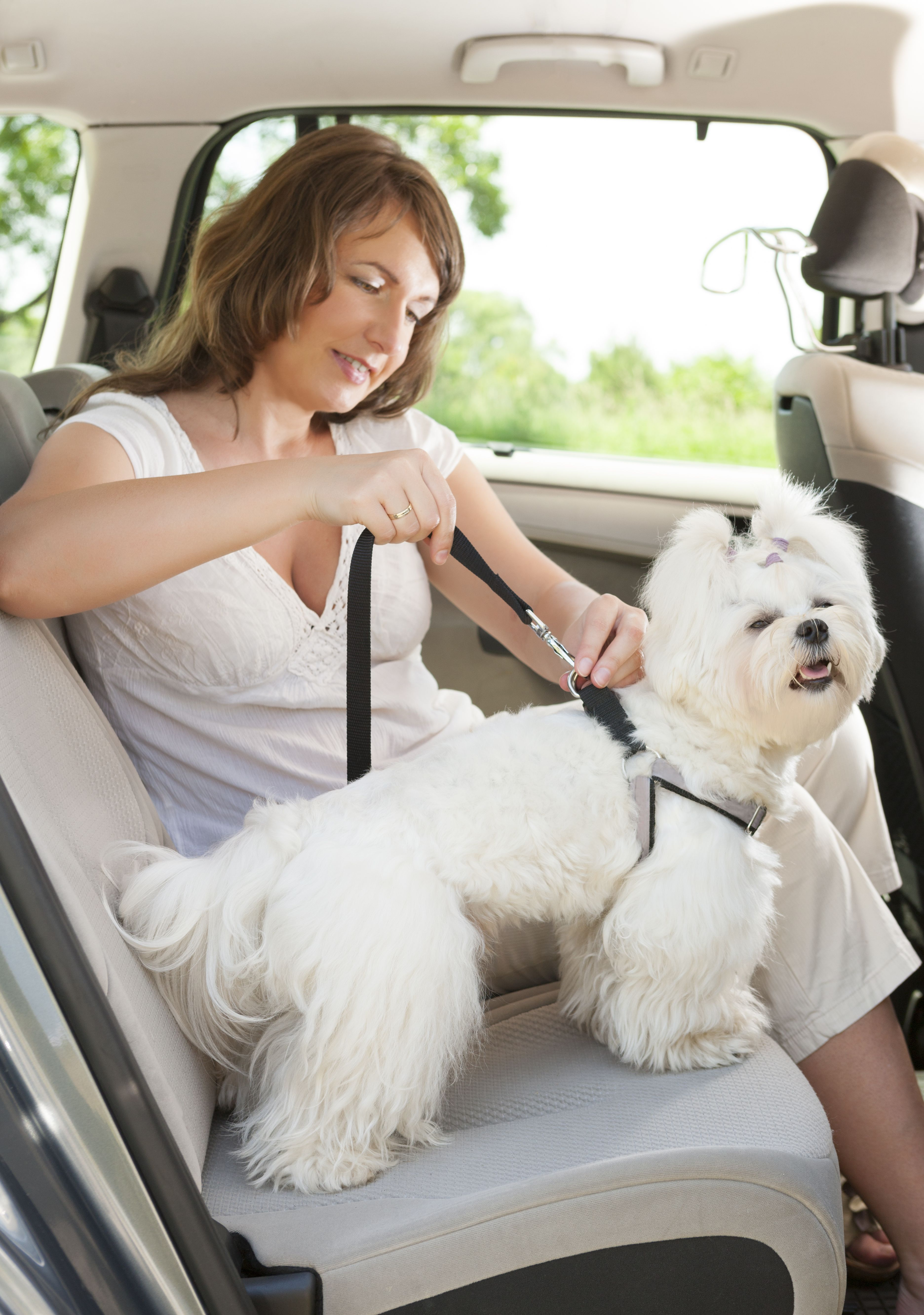 Owner Of The Dog Attaching Safety Leash To Harness To Make A