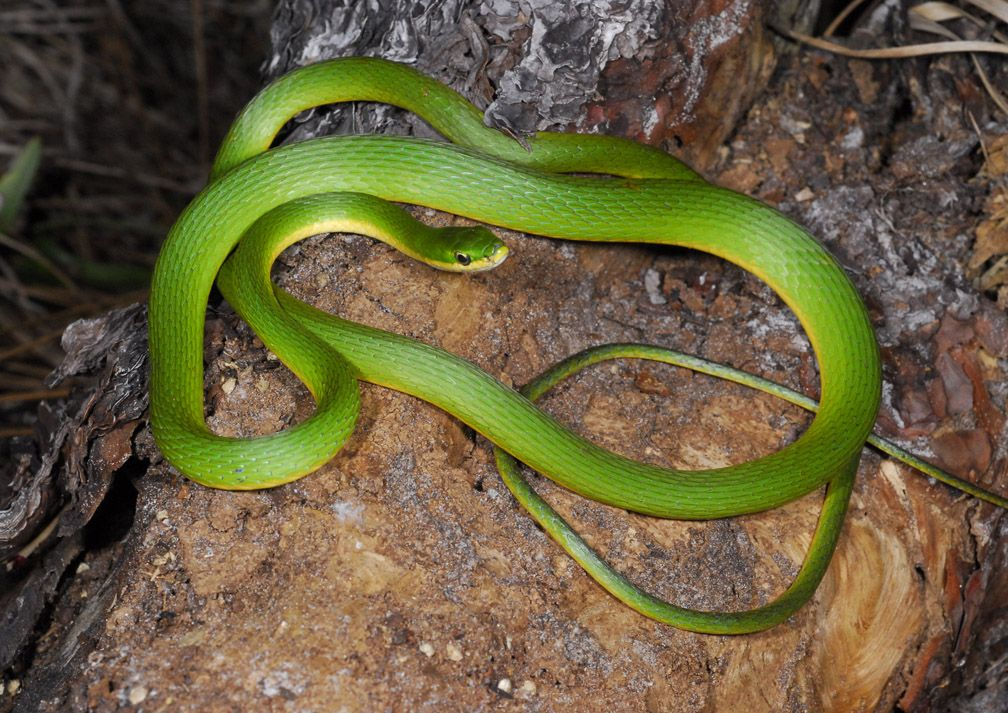 Rough Green Snake Some Argue That They Do Not Make Good Pets