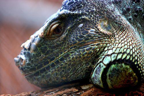 Iguana..beautiful green