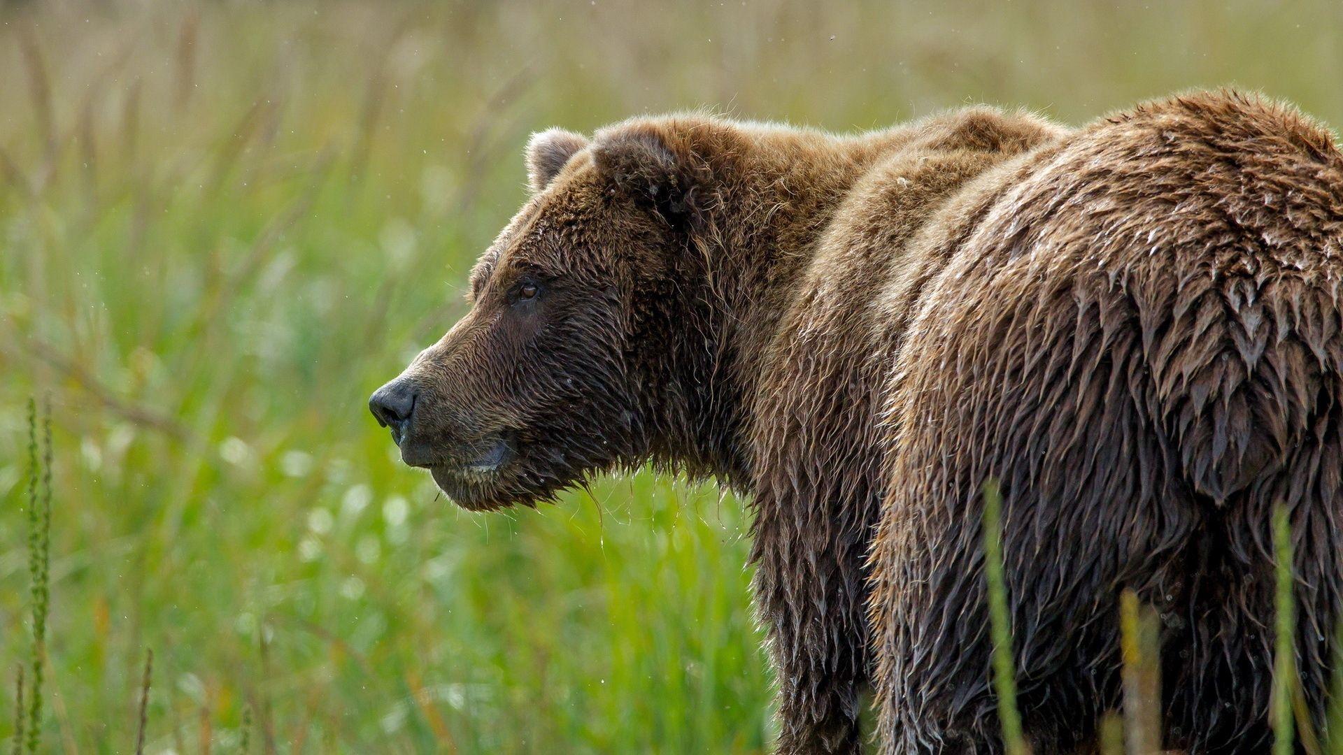 Bears Brown Water Wet Animal bear cub baby wallpaper x