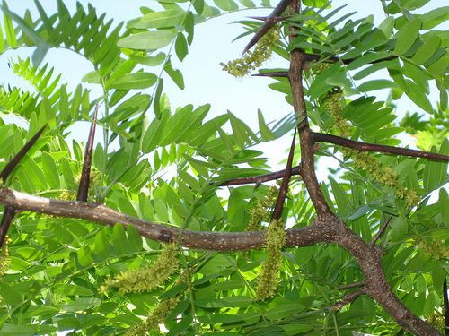 Honey Locust Spines On Branches Along With Flowers Edible Wild