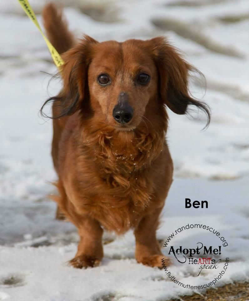 Adopt Ben On Adoptable Dachshund Dog Dogs Dogs Puppies