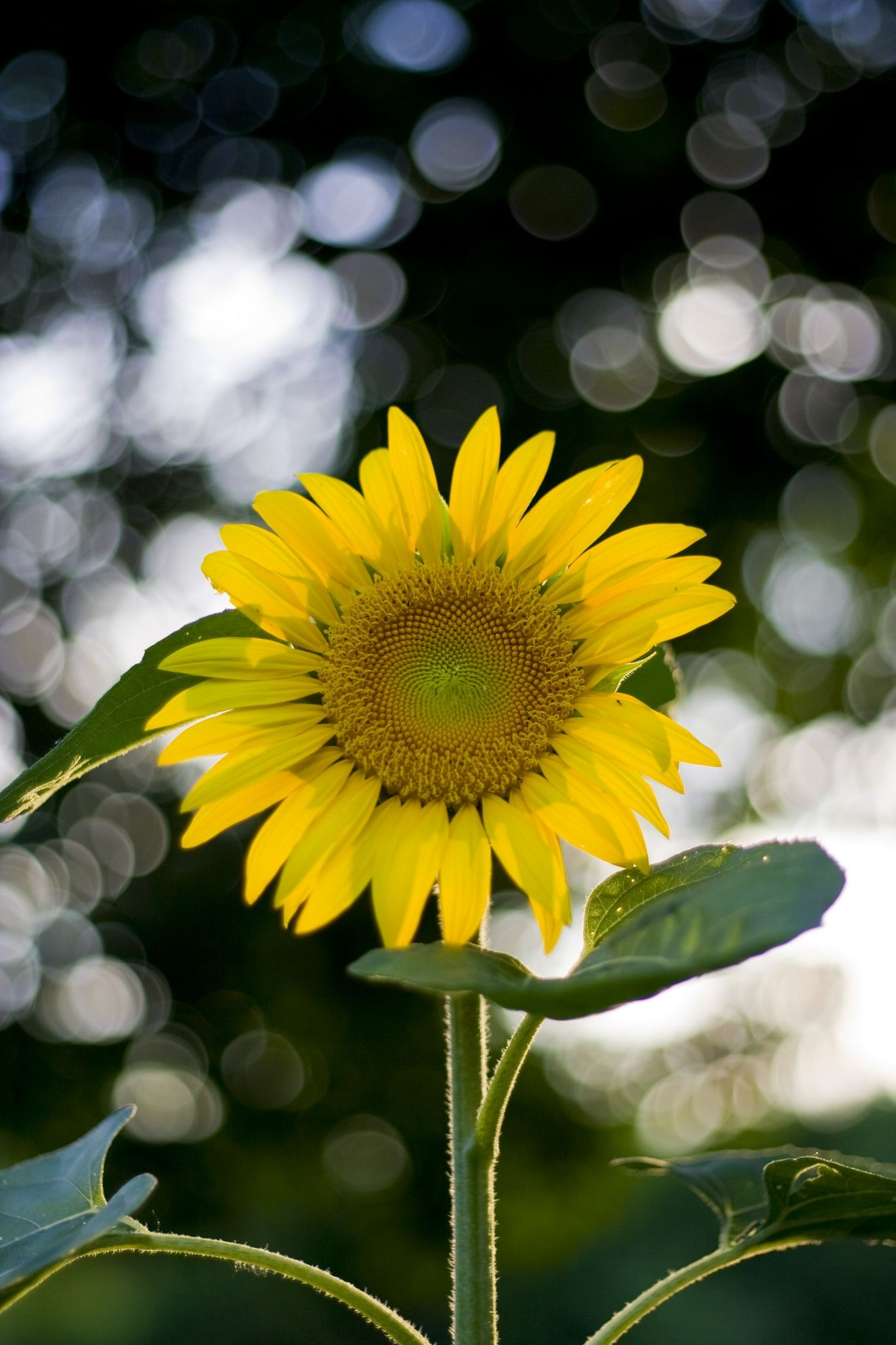 Sunflower by winslow photography on 500px the most beautiful beautiful flowers izmirmasajfo