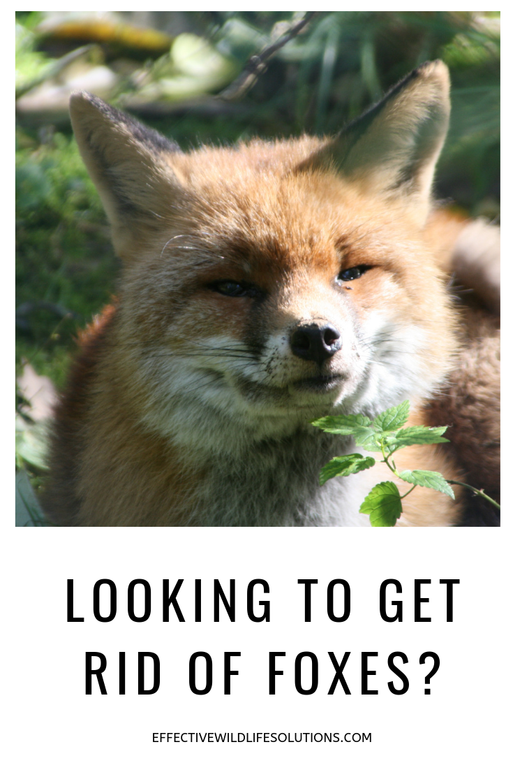 Do You Need To Get Rid Of Foxes In Your Yard Well You Have Come To The Right Place In This Article We Ll Take A Look At Tips And In 2020
