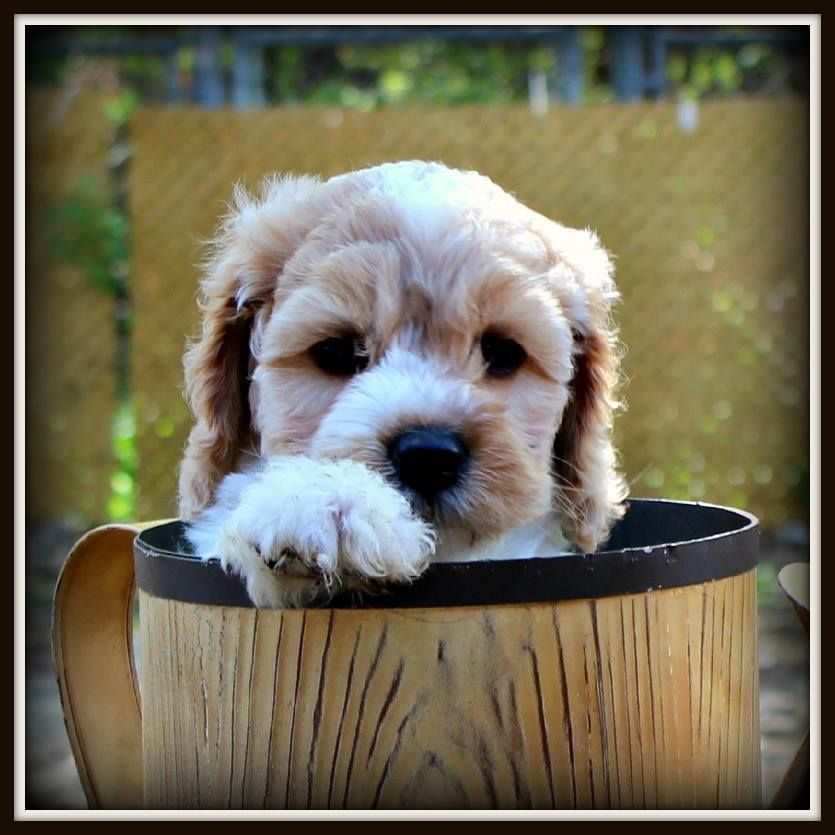Our newest girl:  Canadian Doodle Puppies Maple.  Hope her testing works out!  http://DoodleAround.com