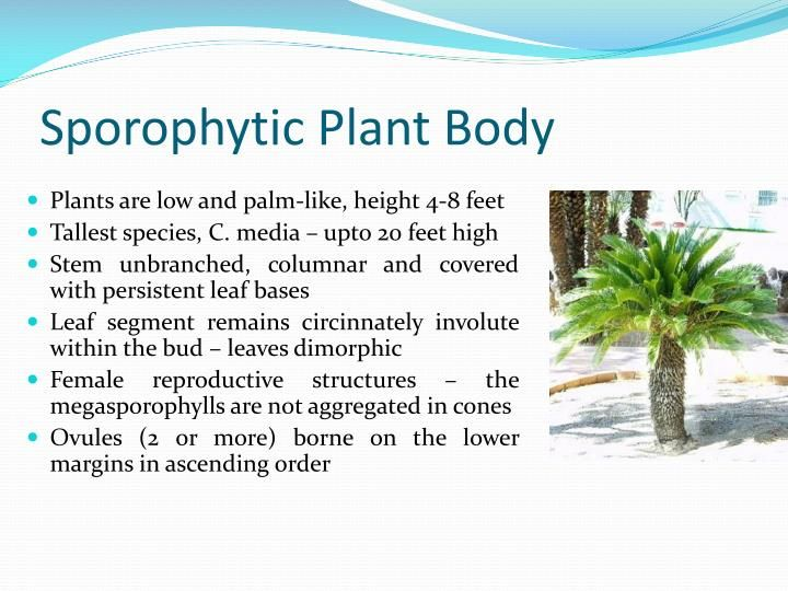 Photo of CYCAS Structure, Reproduction & Life-Cycle