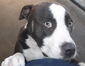 Adopt Blue On Pitbull Terrier Bull Terrier Dog Adoptable Pit Bulls