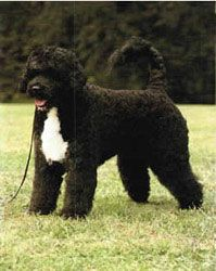 Portuguese Water Dog Saw One This Week Shaved Down Such A