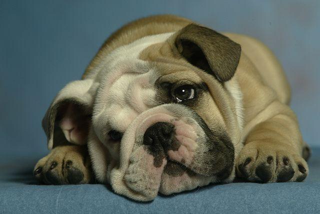Stock Image Animals Wildlife In 2020 American Bulldog Puppies
