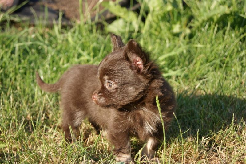Chihuahua Puppy Welpe Chihuahua welpen, Lustige hunde