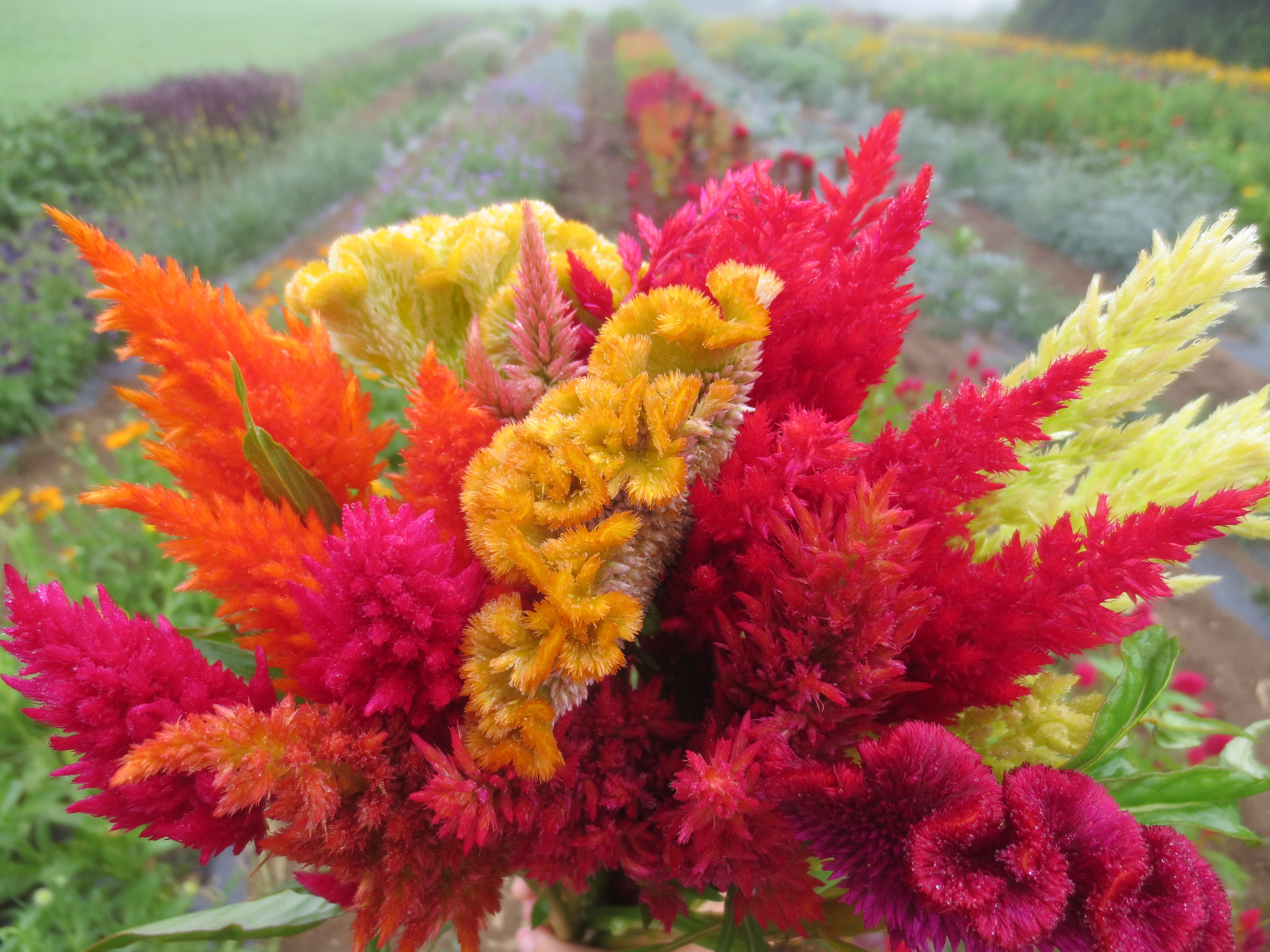 Plume Celosia In Assorted Colors July To Early October Green Bright Pink Bronze Muted Pink Beautiful Flower Arrangements Celosia Flower Beautiful Flowers