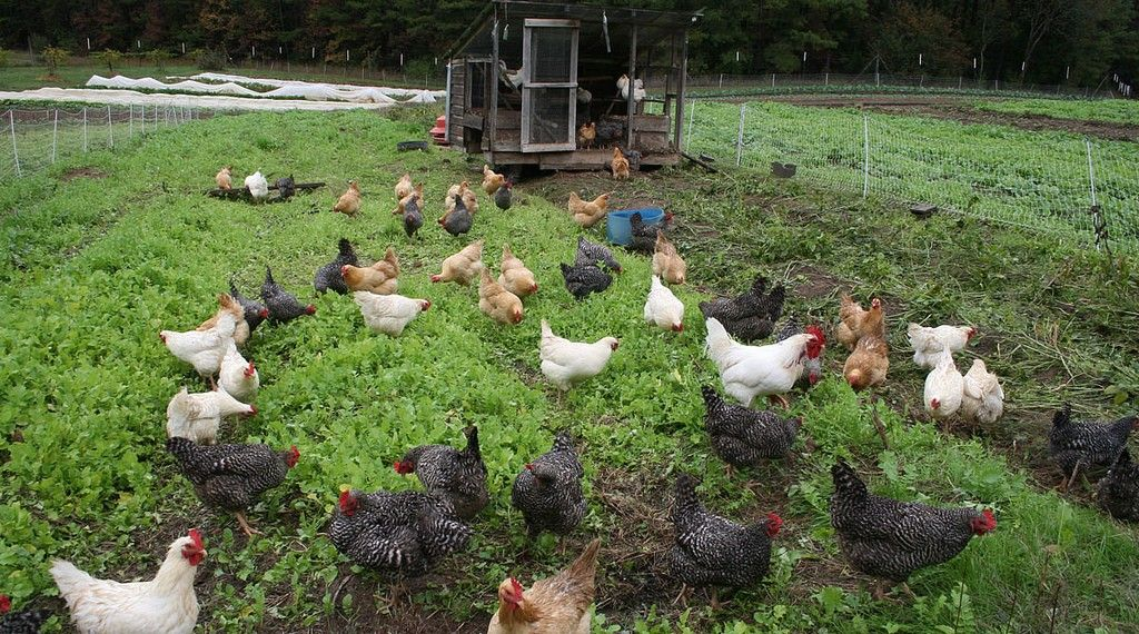 12++ Most profitable farm animal ideas