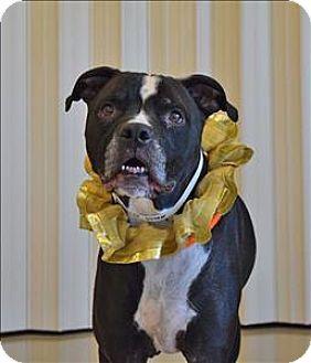 Columbus, OH Boxer Mix. Meet Duce, a dog for adoption