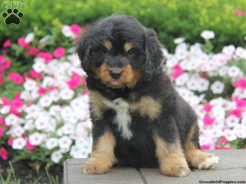 Kole Bernedoodle Miniature Puppy For Sale In Pennsylvania Bernedoodle Miniature Puppies Bernedoodle Puppy