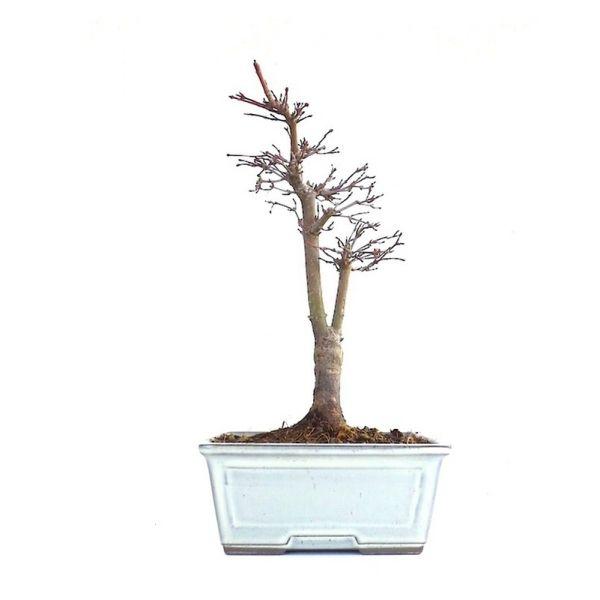 acheter ce tr s beau bonsa acer palmatum deshojo de 31 cm import du japon chez votre. Black Bedroom Furniture Sets. Home Design Ideas