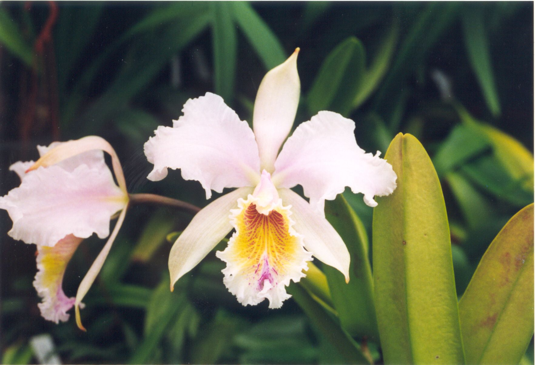Cattleya empress frederick x c mossiae 577 orchids for Orchidea cattleya