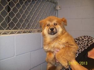 Adopt Sugar On Chow Chow Dogs Pet Adoption Center Dogs