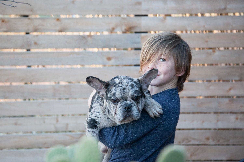 merlefrenchie frenchbulldog merlefrenchbulldog