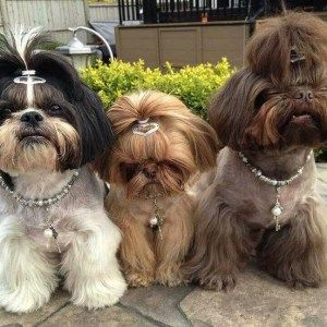 How Does A Shih Tzu Communicate Shih Tzu Puppy Shih Tzu Hair Styles Shih Tzu Dog