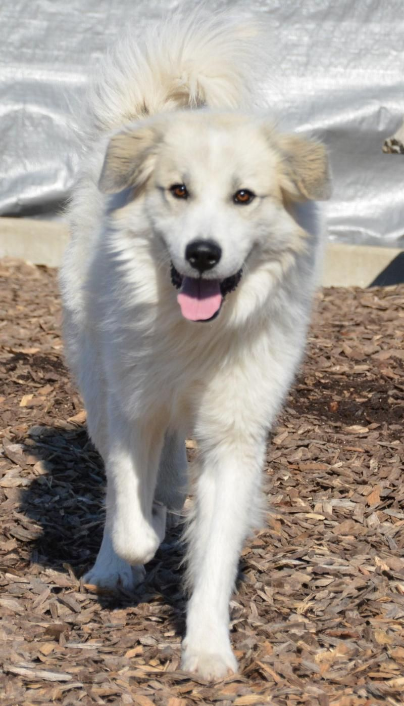 Adopt Colonel on Great pyrenees dog, Great pyrenees, Fur
