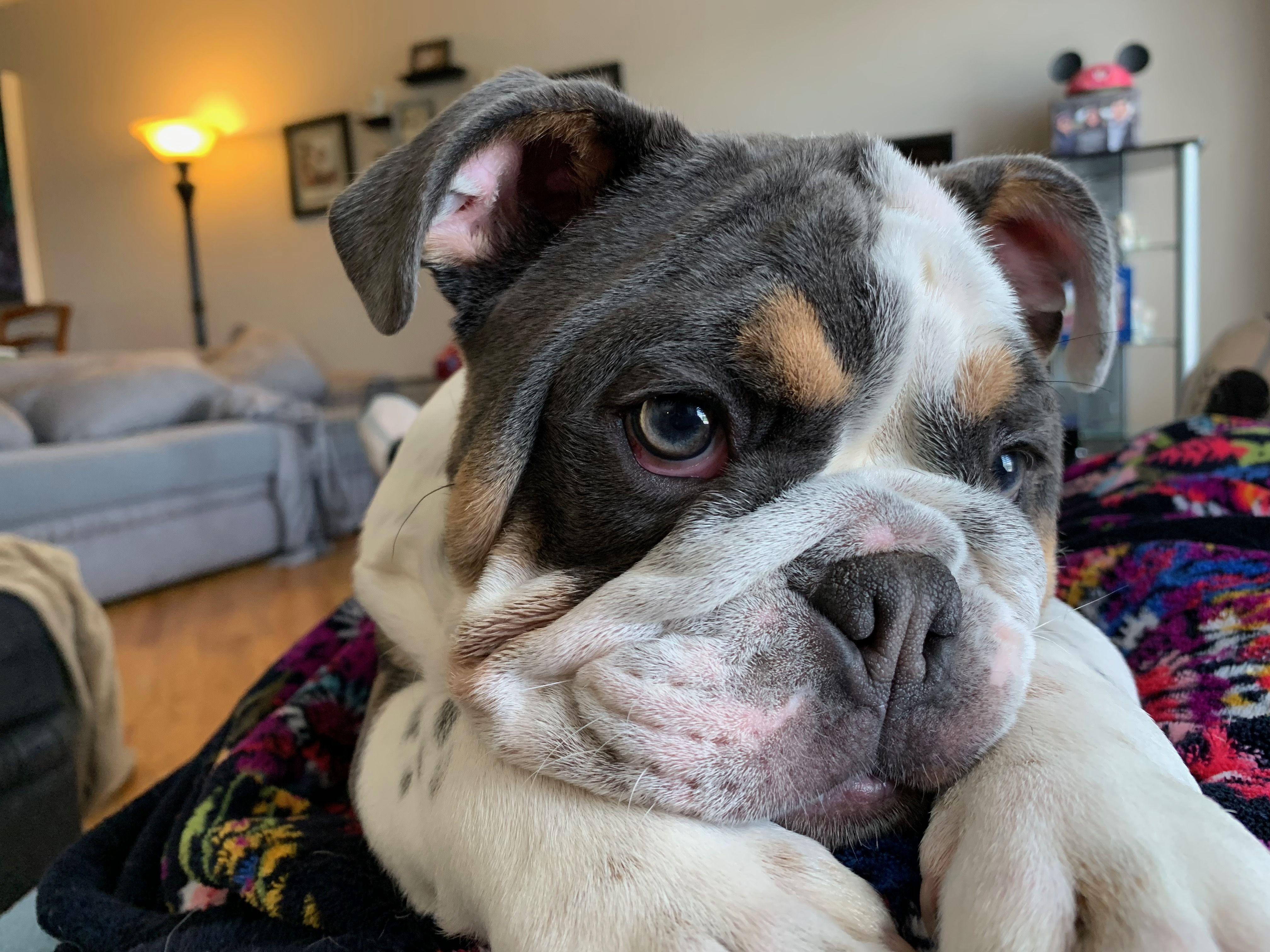 Bulldog Puppy Bulldog Puppies Best Dog Breeds Pets