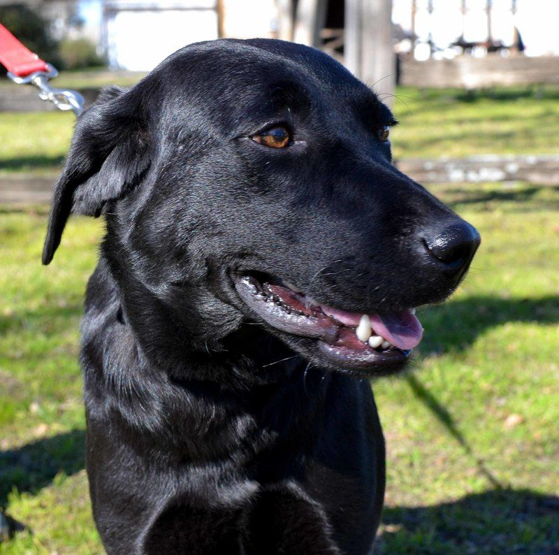 Adopt Lady On Black Labrador Retriever Labrador Retriever Mix