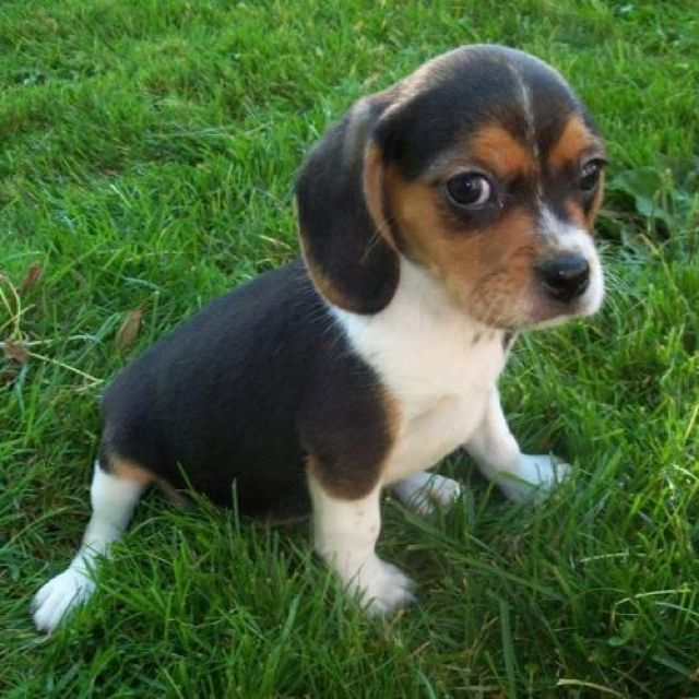 Beaglier You Should Live With Me Beagle Puppy Puppies Cute