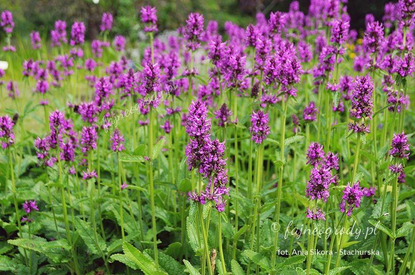 Byliny Miododajne Do Ogrodu Przydomowego Moich 10 Typow Plants Garden