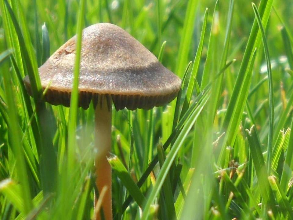 Shroomery - Panaeolus cinctulus | Mushrooms | Home Decor