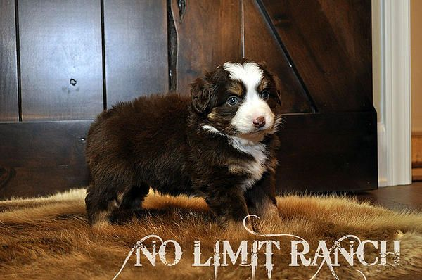 Seriously So Cute Toy Aussie Puppies No Limit Ranch