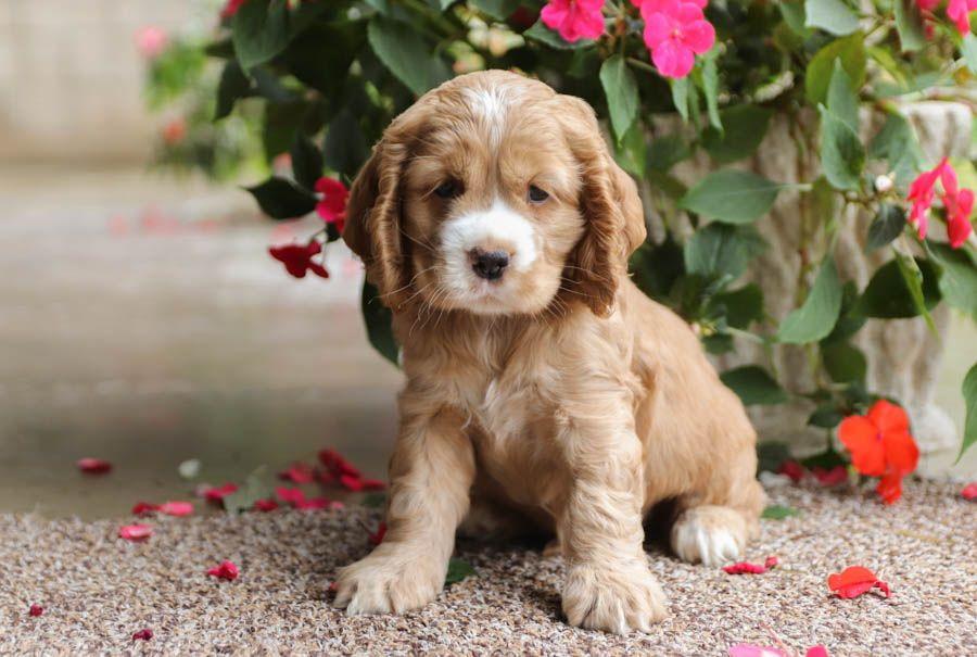 Sweet Irresistible Puppyeyes Gizmo Is A Happy And Cuddly Cockerspaniel With His Cuteness Gizmo Cocker Spaniel Puppies Spaniel Puppies Cute Puppies
