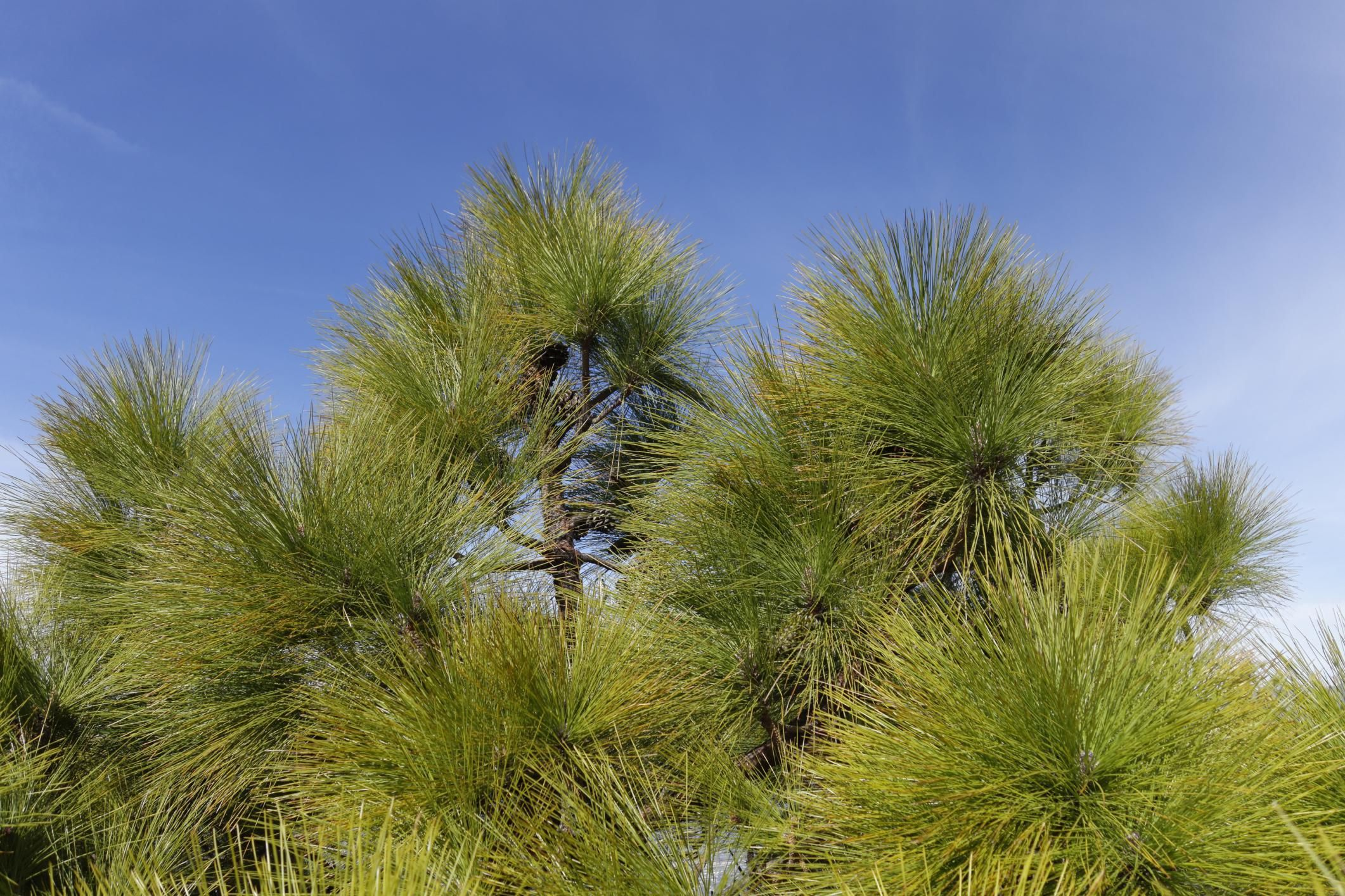 Tips for Growing Canary Island Pine | Canary islands ...