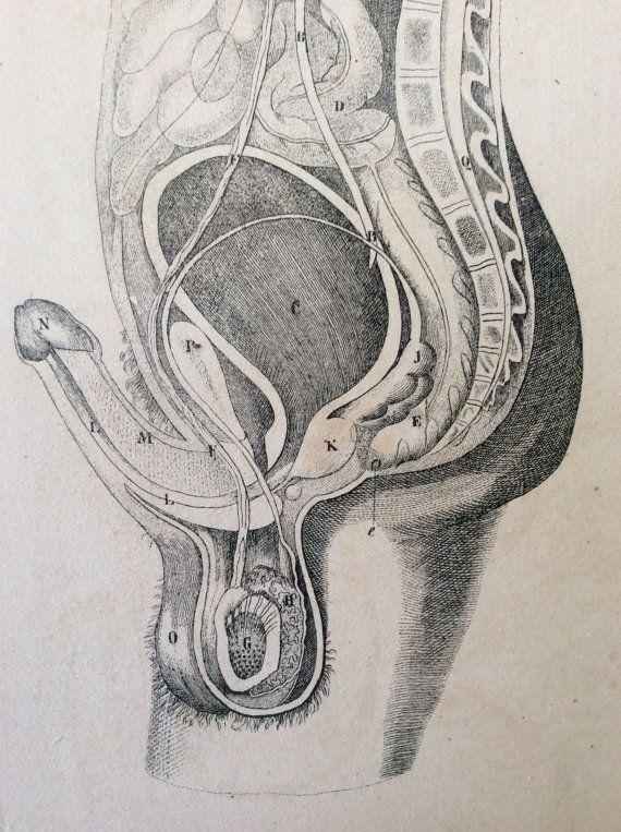 Antique Engraving ANATOMY Erect PENIS Dissection Scrotum ...