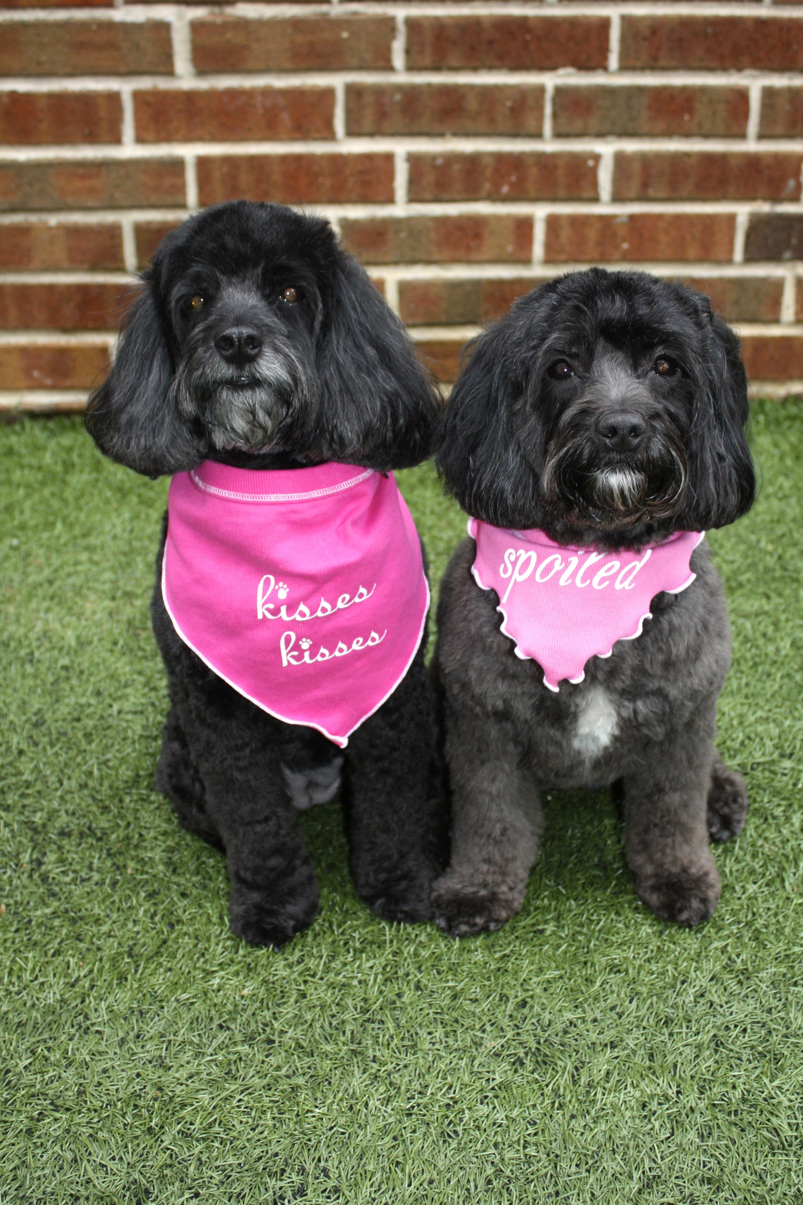 Happy Spring Love Skittle Doo And Snickerdoodle Cockapoo Puppies Poodle Mix Skittles