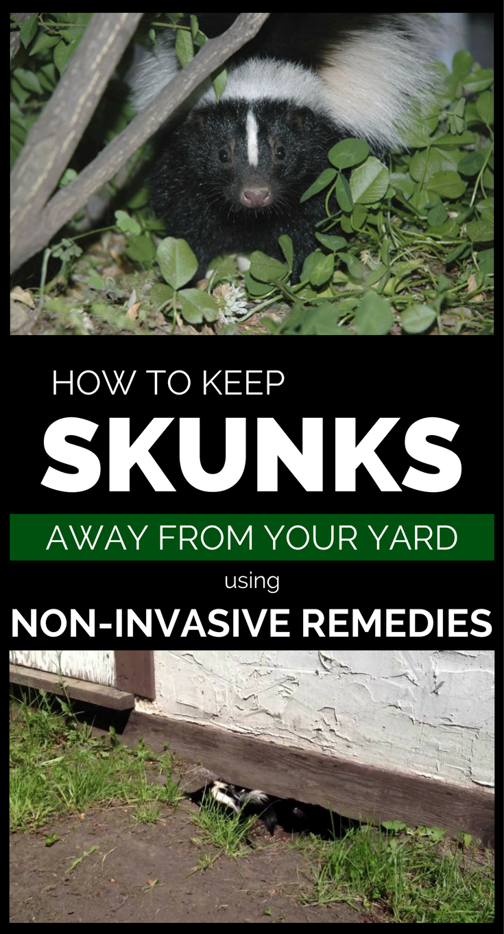 How To Get Skunk Smell Out Of House And Furniture