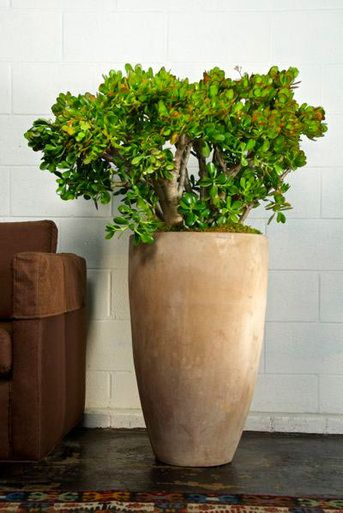 Jade Plant Plants And Pots Pinterest Plants Jade Plants And
