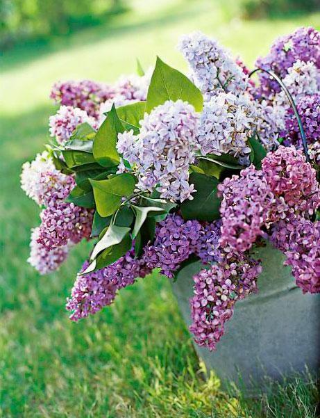 Lilacs Spring S Favorite Perfume Beautiful Flowers Most Beautiful Flowers Spring Flowers