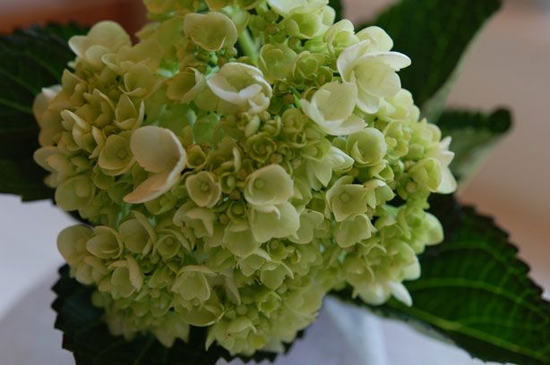 How To Revive Wilted Flowers Wilted Flowers Hydrangea Not Blooming Hydrangea