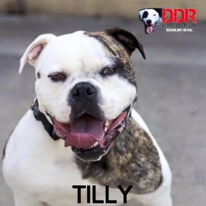 Adoptable Dog Tilly Dogs Dogs Up For Adoption Rescue Dogs