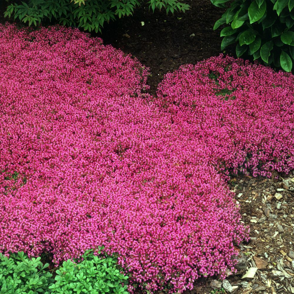 Creeping Thyme Seed Thymus Serpyllum Magic Carpet Ground Cover Seeds In 2020 Creeping Thyme Ground Cover Seeds Red Creeping Thyme