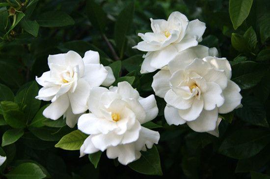 inspiring gardenia house plant. white gardenia flowers  In The flower s Garden Pinterest