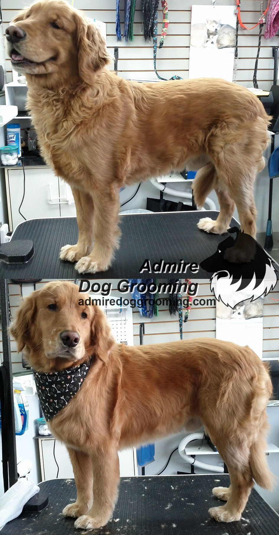 Golden Retriever Before And After Doggroominggoldenretriever