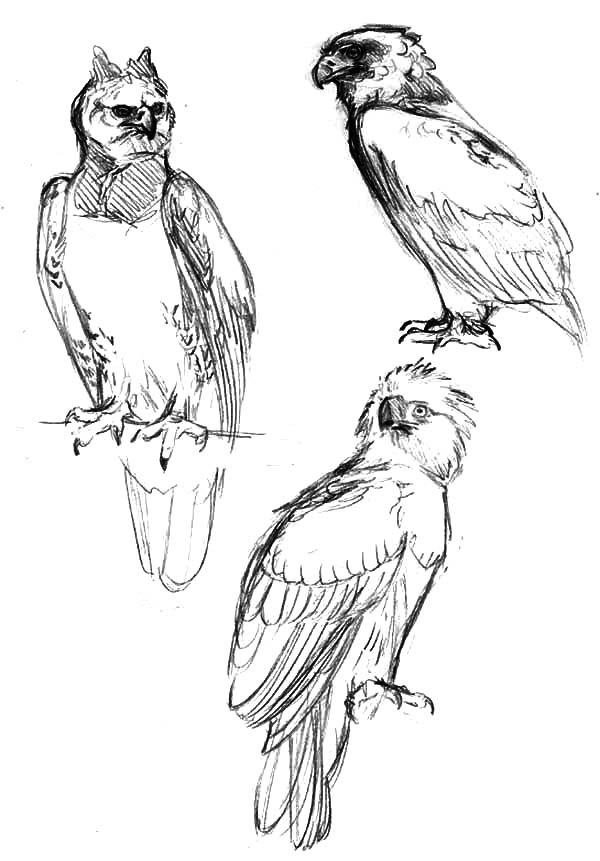 Sketching Harpy Eagle Coloring Pages Coloring Sun In 2020 Coloring Pages American Flag Coloring Page Owl Coloring Pages