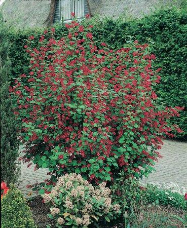 Groseillier à fleurs | Arbuste, Printanier et Idées pour le jardin