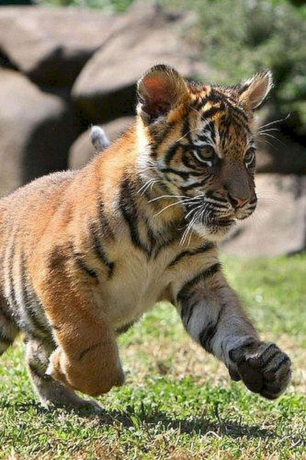 Cute Tiger Being Too Playful