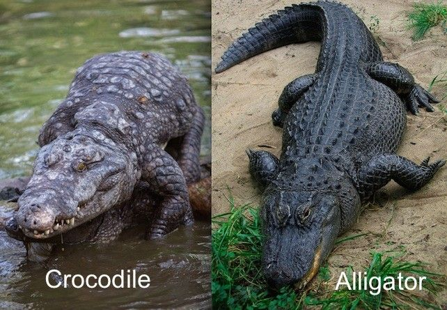 28 Commonly Confused Animals Crocodiles Animals Alligator