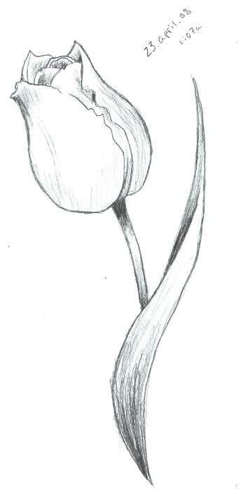 Tulip Sketch by ScarletRainxX on deviantART  Tulip Drawing