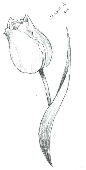 Tulip Sketch by ScarletRainxX on deviantART | Tulip ...