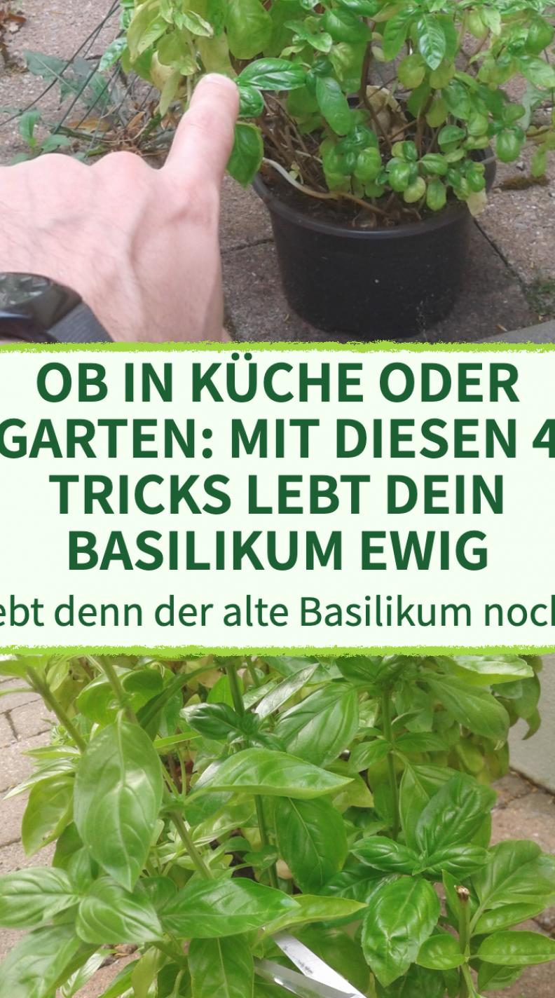4 Tricks  mit denen dein Basilikum ewig lebt - #balkon #Basilikum #dein #denen #ewig #lebt #mit #Tricks