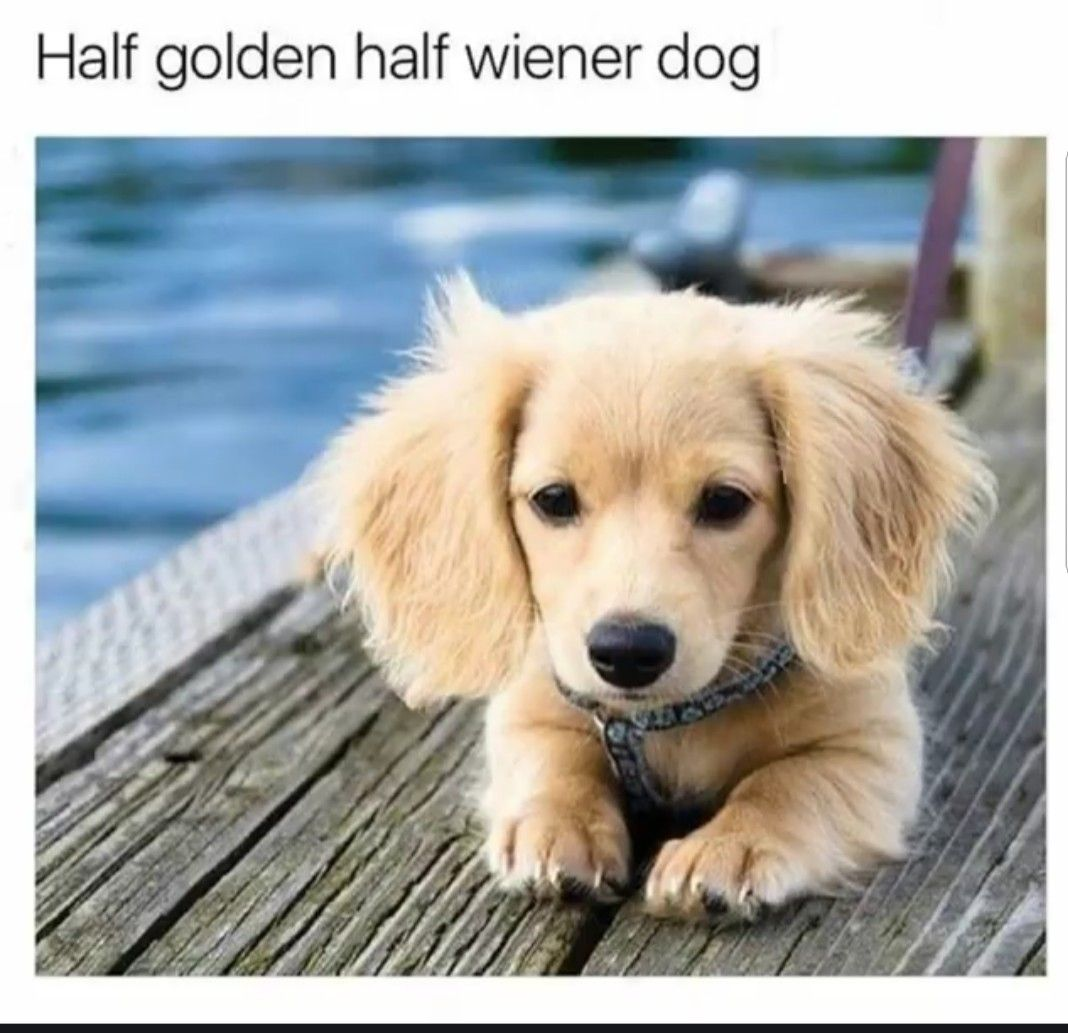 Pin By Diane Shaw On Animals Golden Retriever Cute Dogs